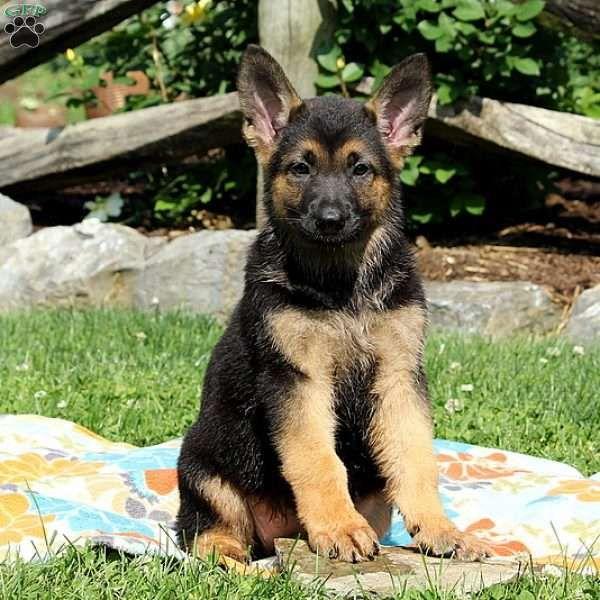 Ziva German Shepherd Puppy For Sale In Pennsylvania German