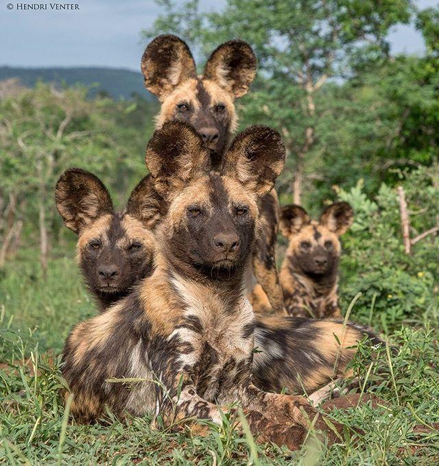 Painted dog family portrait. #wilddog #painteddog #endangared #wildlifephotography #wildlife #nikonwildlife #nikon #iamnikonsa #safari #photosafari #zimanga
