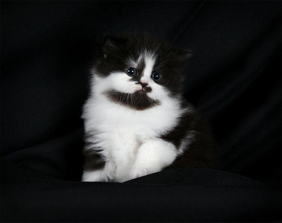 Black And White Bicolor Persian Kitten Persainkittens Persian Kittens Pics Of Cute Cats Teacup Cats