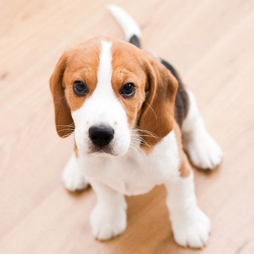 """Beagle puppy. See MORE puppies on Great American Country's """"Pick A Puppy."""" >> http://my.gactv.com/great-american-pets/Pick-a-Puppy/gallery.esi"""
