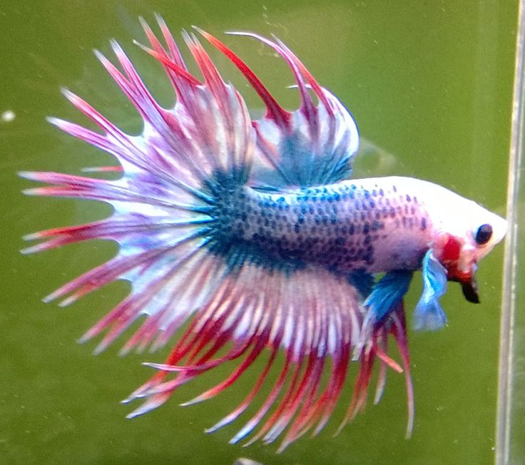 Male Betta Crowntail Giant Betta Fish For Sale Crown