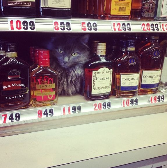 Preparing to scare the shit out of you. | 25 Places You'll Find Bodega Cats