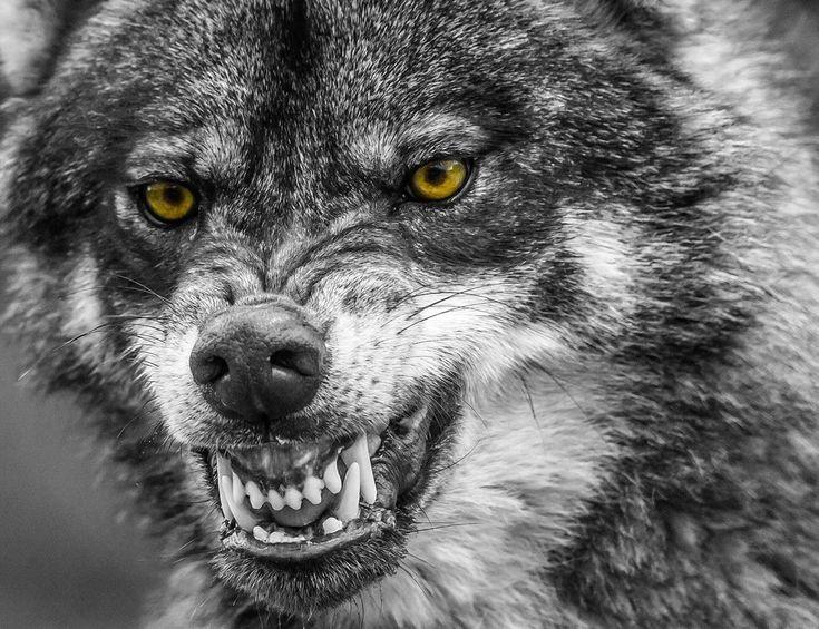 Картинки скалящегося волка