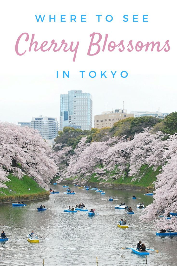 Where to see the most amazing cherry blossoms in Tokyo, Japan.