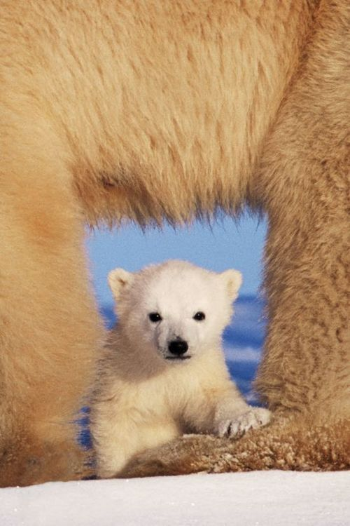Polar Bear Cub Cubby. So adorable. It's amazing they begin life so little. What a beautiful photo. Great shot!