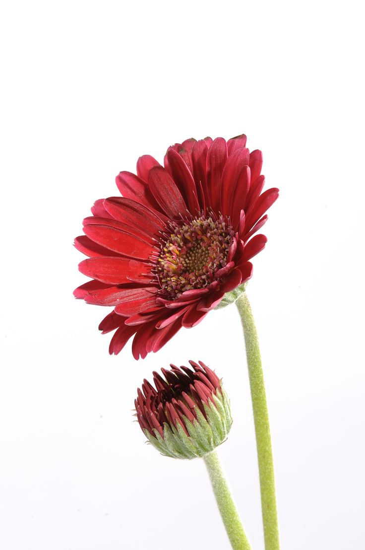 Gerbera #daisy #red #flower #flowers  Per scoprirne di più http://viridea.it/consigli/annuali/gerbera-jamesonii/