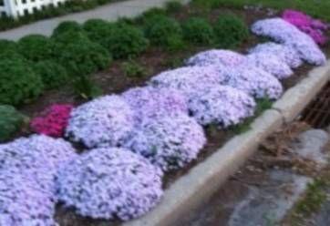 СМОТРИТЕ как подготовить ФЛОКСЫ к ЗИМЕ, обрезка флоксов осенью после цветения и уход весной за флоксами после зимы. ЛУЧШИЕ СОВЕТЫ!