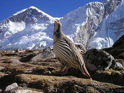 El perdigallo tibetano (Tetraogallus tibetanus)2 es una especie de ave galliforme de la familia de los faisanes (Phasianidae). Esta especie se encuentra en la zona occidental del Himalaya.