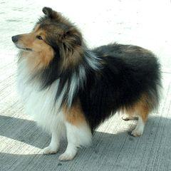 Sheltie.....Known as Mini Lassie