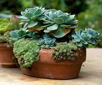 Echeveria with cobweb houseleek.   25 Beautiful Container Gardens | Midwest Living