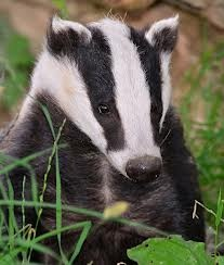 british badger - Reminds me of Wind in the Willows. He didn't like company. :-)