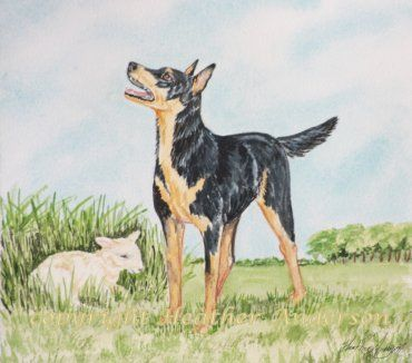 'Kelpie' Original Watercolor Painting by Heather Anderson 'Kelpie', is native to Australia. The Australian Kelpie Dog is a tireless and loyal worker who excels at herding sheep.