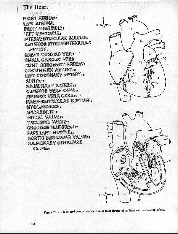 Heart Anatomy Coloring Sheet Heart coloring pages, Heart