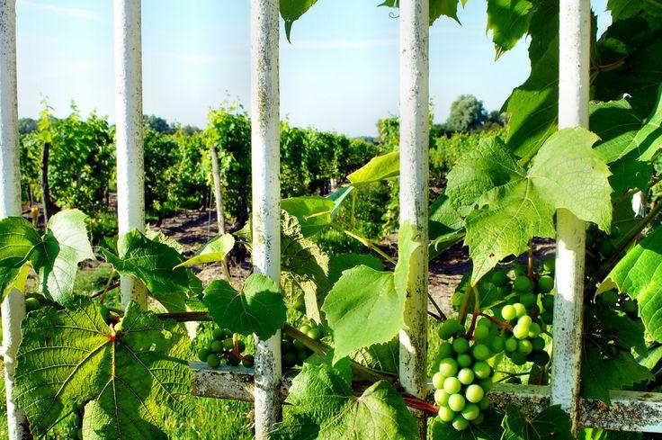 Winnice nad Loarą i Mozelą są powszechnym obrazem w prawie każdej wiosce. Otwarte lub odgrodzone płotem od drogi. Czasami winorośle są ciekawe tego co na drodze ...
