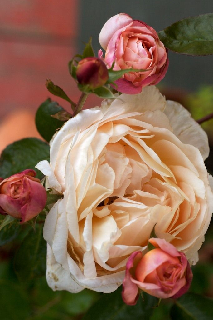 Tamora - English Rose, I LOVE English roses, they resemble Peonies.