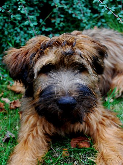 briard dog Google Search Briard puppies, Briard dog