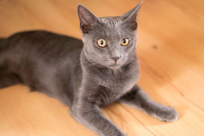 Korat Cat Rescue