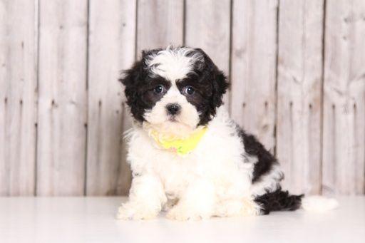 Zuchon puppy for sale in MOUNT VERNON, OH. ADN-29176 on PuppyFinder.com Gender: Female. Age: 8 Weeks Old