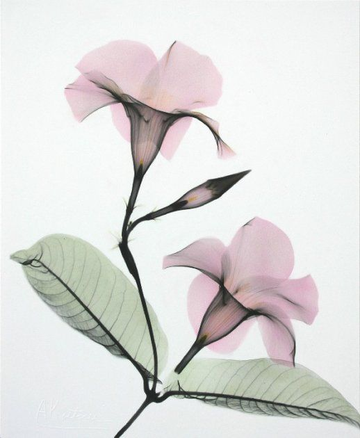 X-ray Photography Painting Art Flowers Plants Colour Albert Koetsier