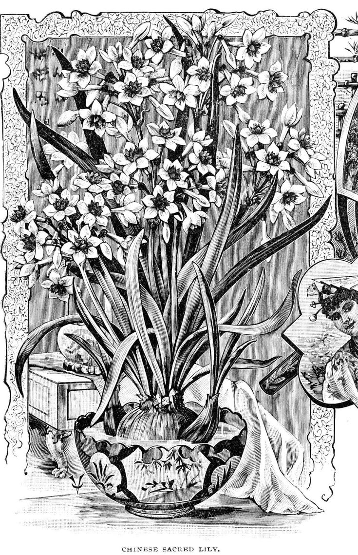 126 best flowers drawing of daffodil images on pinterest art