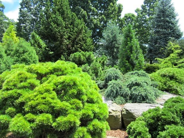 339 best garden conifers images on Pinterest English gardens