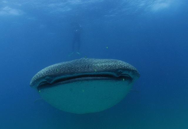 Whaleshark pics taken in Sodwana