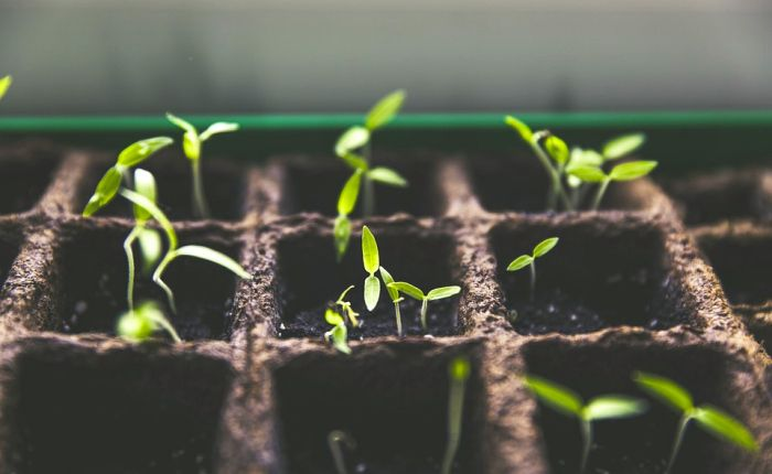 How to Start TomatoesIndoors - Get started this spring for tomatoes all summer!