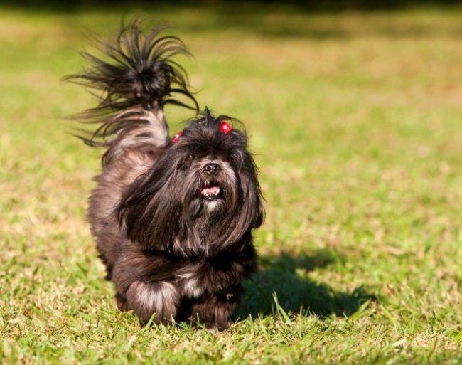 Переезд или любая транспортировка для этих милых собачек не являются сильным стрессом. Они легко адаптируются к меняющимся обстоятельствам