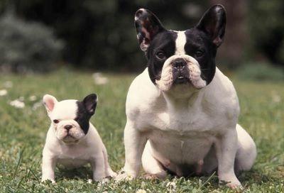Razas De Perros Pequeños De Pelo Corto Para Niños. RAZAS DE PERROS DE PELO CORTO IDEALES PARA MASOTAS   A muchas personas les encantan tener perros como mascotas, ya que son seres que brindan mucho amor, lealtad y amistad, pero en muchas ocasiones hay personas que tienen algún tipo de alergia por el pelo del perro y muchas de esas personas son niños.  Si tú estás buscando alguna raza de perro que sea especial para que tu hijo no le de alergia,....  Razas De Perros Pequeños De Pelo Corto…