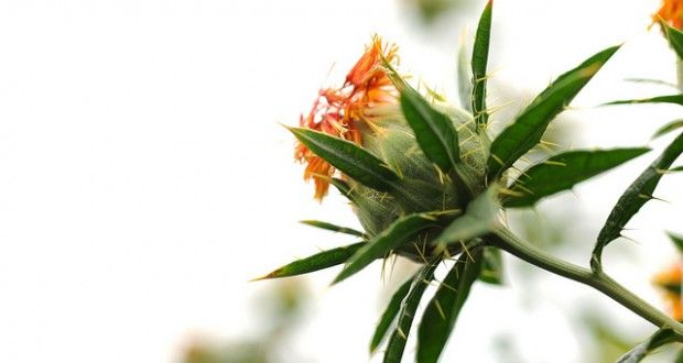 What is Safflower Oil Good for? - Oilypedia.com