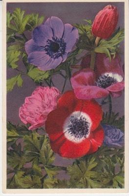 Thor E Gyger Postcard - 169 - Anemone coronaria L. - Kronen-Anemonen - Anémones des fleuristes - Garden Amenones