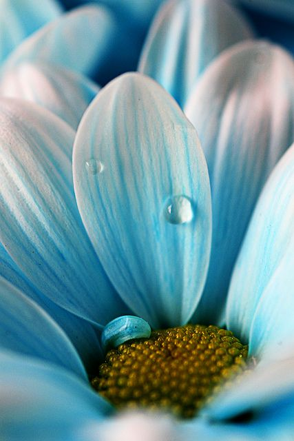 don't ever say goodbye: Baby Blue, Color, The Ocean, Beautiful, Dew Drop, Blue Flower, Dewdrop, Flower Photography, Water Drop