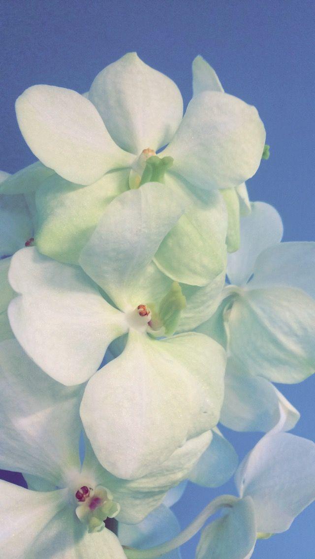vanda orkide hvit