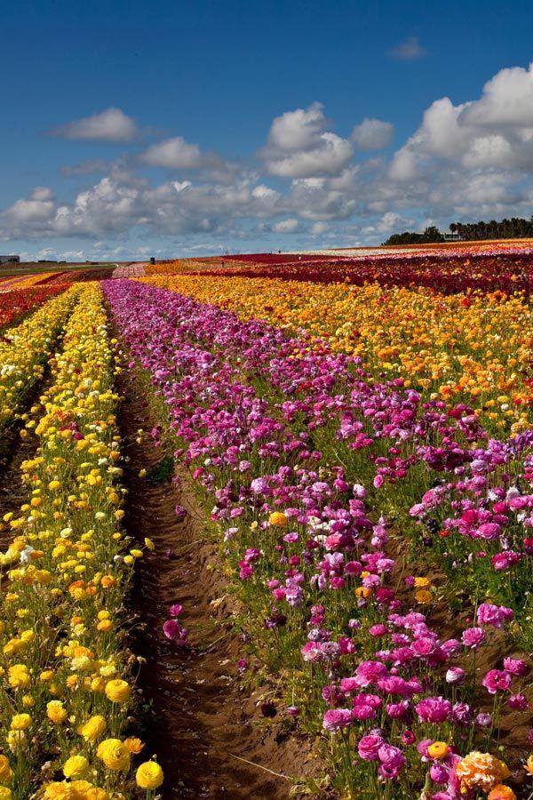 Carlsbad Flower Fields In 2020 Carlsbad Flower Fields Flower Field Carlsbad California