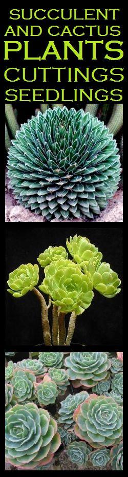 Plants - Plants - Sedum nussbaumerianum Plants - Live Succulent Plants for sale in Port Elizabeth (ID:111516967)