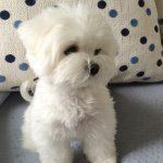 Luce, the little #maltese! I love to play with toys, hop like a bunny, and eat cupcakes!