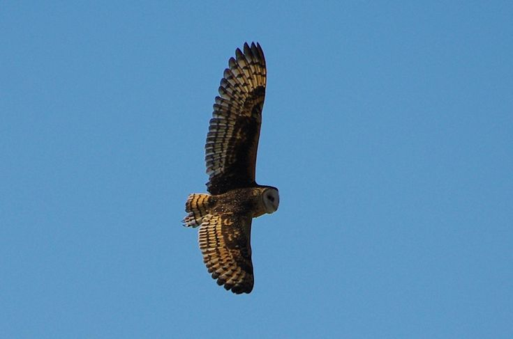 Eastern Grass Owl (Tyto longimembris) in flight. Photo by Deane Lewis.