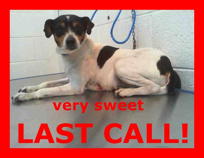 SAFE --- AMBER LEE (A1674431) I am a female tricolor Fox Terrier - Smooth.  The shelter staff think I am about 5 years old and I weigh 17 pounds.  I was found as a stray and I may be available for adoption on 01/27/2015. — hier: Miami Dade County Animal Services. https://www.facebook.com/urgentdogsofmiami/photos/pb.191859757515102.-2207520000.1422091910./915122288522175/?type=3&theater