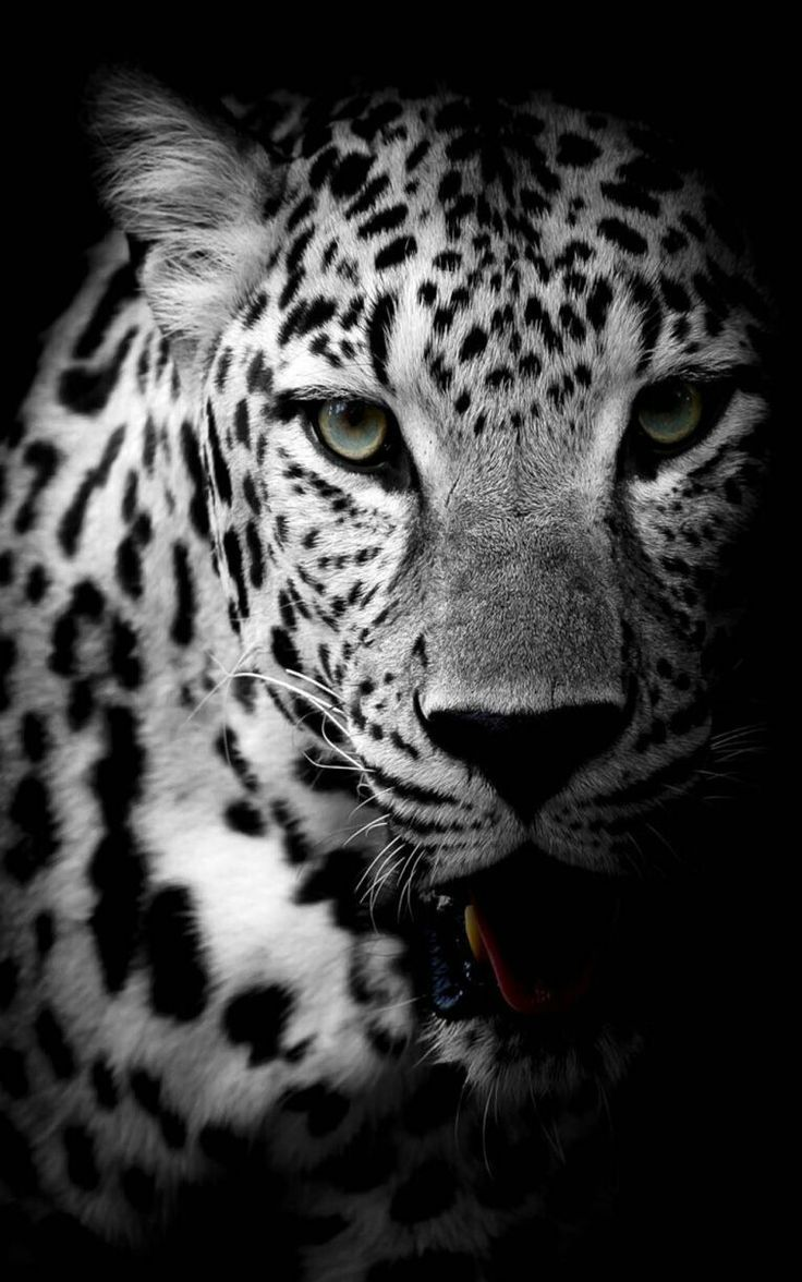 Pin By J Jordan On Black And White Leopard Wallpaper Beautiful Leopard Snow Leopard Wallpaper