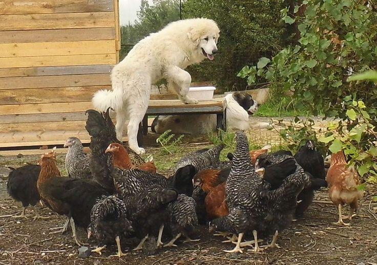 vejce á 3,- Kč,kuřata, kuřice,nosnice,bažanti ,brojleři, kůzlata