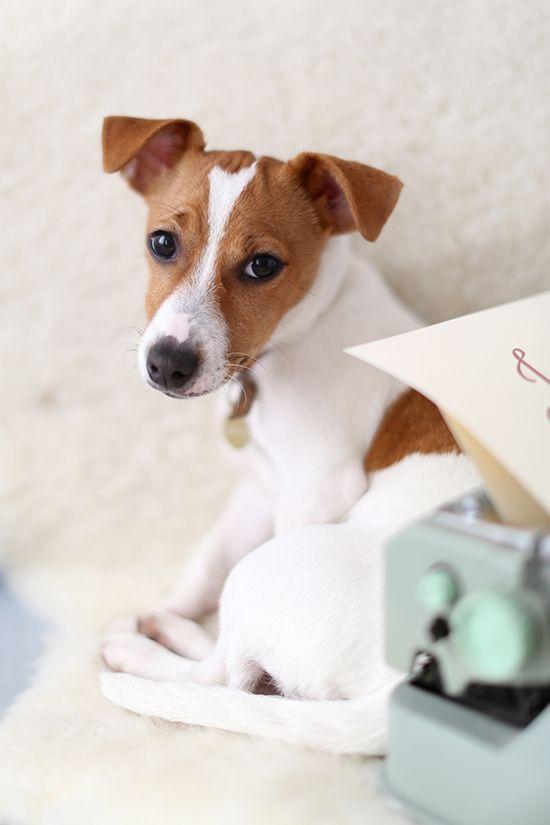 Omg this looks exactly like g dog Lyla! Soo freakin cute :)