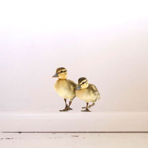 Ducklings Wall Decal by #JuneFoxStudio on Etsy #easter #spring
