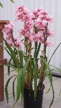 Cymbidiums -- Growing Cymbidium Orchids