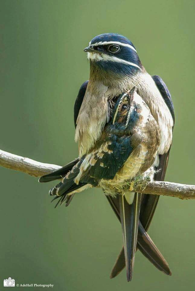 The whiskered treeswift (Hemiprocne comata) is a species of bird in the Hemiprocnidae family. It is found in Brunei, Indonesia, Malaysia, Myanmar, the Philippines, Singapore, and Thailand. Its natural habitats are subtropical or tropical moist lowland forests, subtropical or tropical mangrove forests, and subtropical or tropical moist montane forests.
