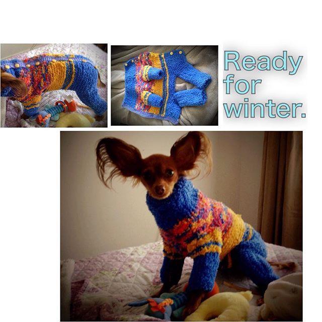 #dogsclothes #knittingfordogs #readyforwinter #irishanochizuru #russisktoyterrier #russisktoy #russkiytoy #russiantoyterrier
