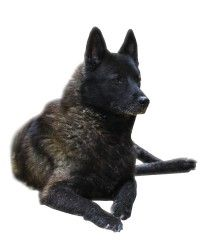 Hondenrassen - Noorse Elandhond