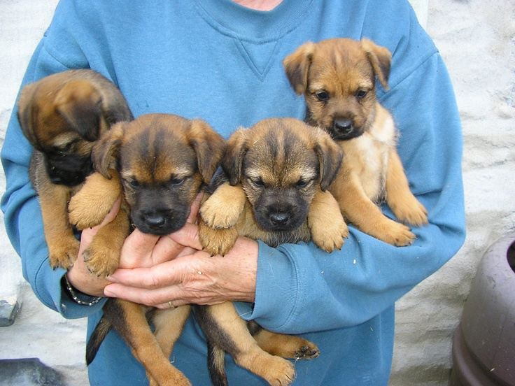 Border Terrier Puppies Cornwall