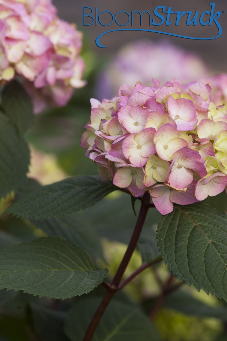 BloomStruck® hydrangea in pink - Available Spring 2014