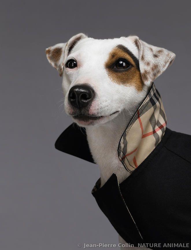 Portrait d'un Jack Russel Terrier portant un vêtement pour chien@@
