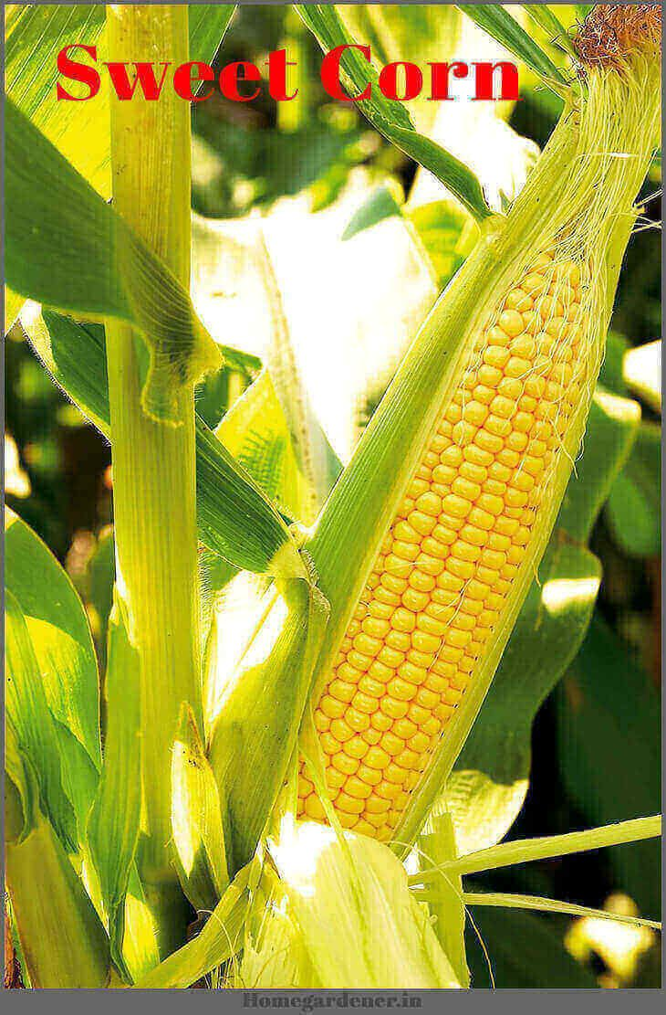 Planting Growing And Harvesting Of Sweet Corn At Home